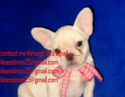 French Bulldog puppies ready for adoptiop now