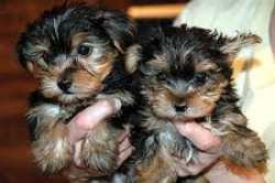 Akc regristered yorkie puppies