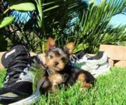 Good looking Teacup Yorkie puppies text me on (484) 353-5342