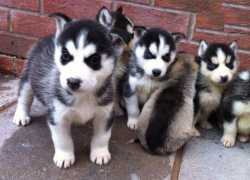 4 Adorable AKC registered Siberian Husky puppies place for new home