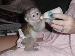 cute and Adorable baby capuchin monkeys for adoption
