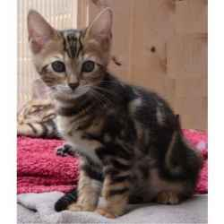 Pure Bred Pedigree Bengal Kittens Ready Now