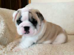 fine fine boy English Bulldog puppies for sale to good homes