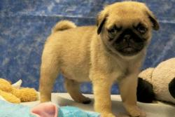 charming male and female pug for Adoption