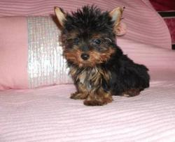 Cute Yorkie Puppies For Adoption