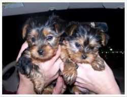 Doll Face Teacup Yorkie Puppies For Adoption