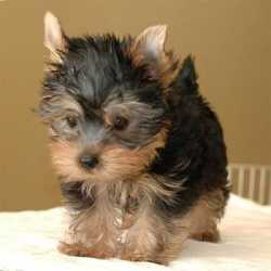 Cute Female Yorkie Puppy ready to go