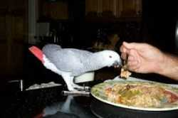 African Grey   Parrots for sale- Various Species Available-Tamed, Healthy, Hand Raised: