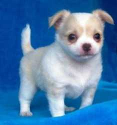 cute chihuahua puppies looking for a home.