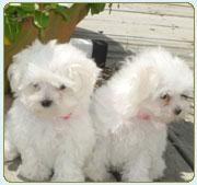 EXTREMELY TINY GORGEOUS MALTESE PUPPIES.