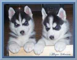 lovely Siberian Huskies puppies for sale