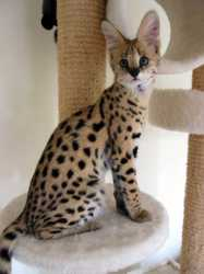 Cute TICA Registered and well tamed Serval For Sale.