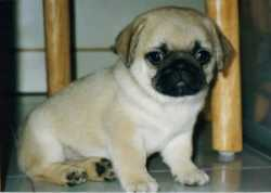 Adorable AKC Registered  Pug Puppies -Text (720) 583-7624