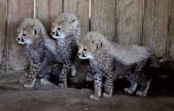 aracal kittens and Cheetah cubs available for sale