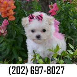 Healthy Maltese puppies for adoption $150 only