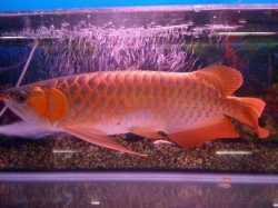 Arowana Fishes Available For Sale
