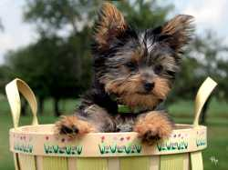 Teacup Yorkie Puppies Available text me on (914)488-9093