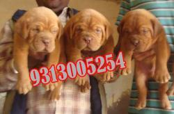 French Mastiff Puppies For At Attractive Price