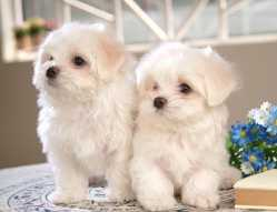 AKC registered Maltese puppies adoption call or text at (413) 453-0933