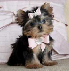 Best Teacup Yorkie Puppies for Adoption