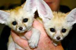 TICA Registered and well tamed Fennec fox For Sale.