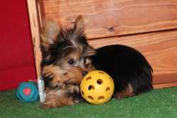 Lovely Yorkie Puppies For Your Homes .
