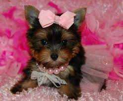 AKC Teacup Yorkie Puppies for Free home adoption