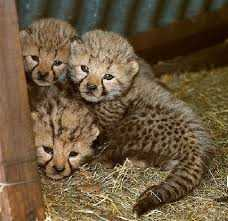 Good looking cheetah cubs cubs for sale