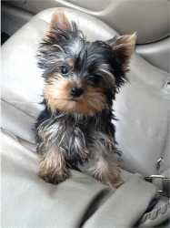 Yorkie Puppies Available For Adoption...