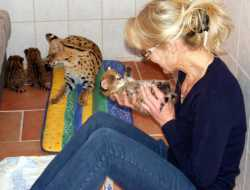 serval, caracal, savannah F1-F5, bengal and ocelot kittens.
