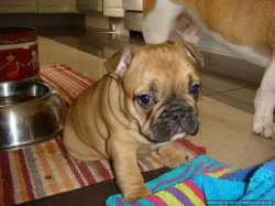 Home Raise Female French Bulldog Puppy for Good  Homes