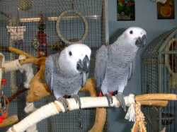 Talking African Grey Parrots For Good Homes