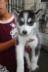 Cute adorable Siberian husky puppies for adoption!!