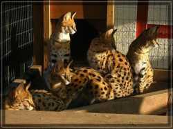 African Serval  and savannah F1 kittens available