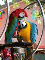 Macaw parrots for sale from kongkha lothong farm