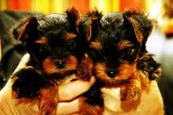 Extremely cute teacup yorkie puppies available for free adoption