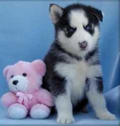 Healthly And Fantastic Siberain Husky Puppies Avialable Now