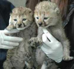 Home trained Cheetah, leopard, lion, tiger and liger cubs for sale.