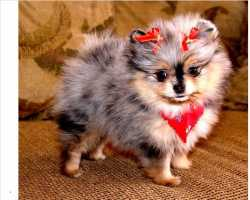 Lovely and Bloodline champion Pomeranian Puppies