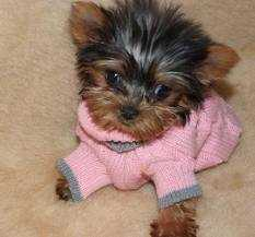 Cute Teacup Yorkie Puppies Re-homing text (484) 548-2424