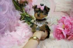 Pretty T-Cup Yorkie puppies for adoption(318) 775-9956