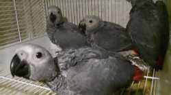 Baby African Grey Congo Parrot + Cage For Sale £795.00