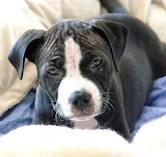 Home raised American pitbull terrier puppies now ready