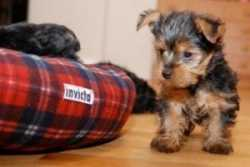 Teacup Yorkies puppies to offer for Free Adoption