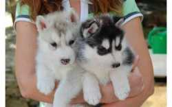 Awesome Siberian husky puppy text or call me (971) 307-7958