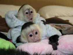 Male And female monkeys For Free Adoption