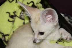 Cute Fennec Fox ready for a new home