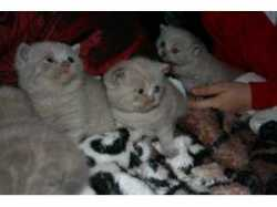 Cute and Adorable British shorthair kittens for re- homingtpetlist.co.uk