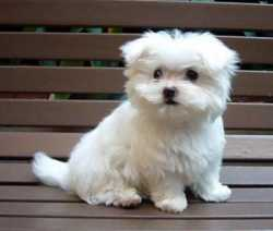 Potty Trained teacup Maltese Puppies For Adoption