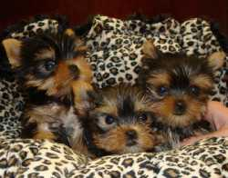 Beautiful baby face teacup Yorkie puppies(225) 629-1705